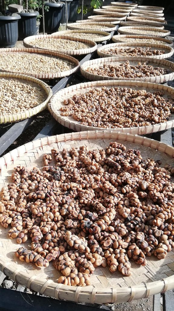 Café extraído de las heces de la civeta