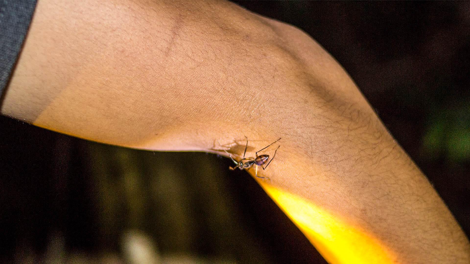 Hormiga gigante en la selva de Borneo