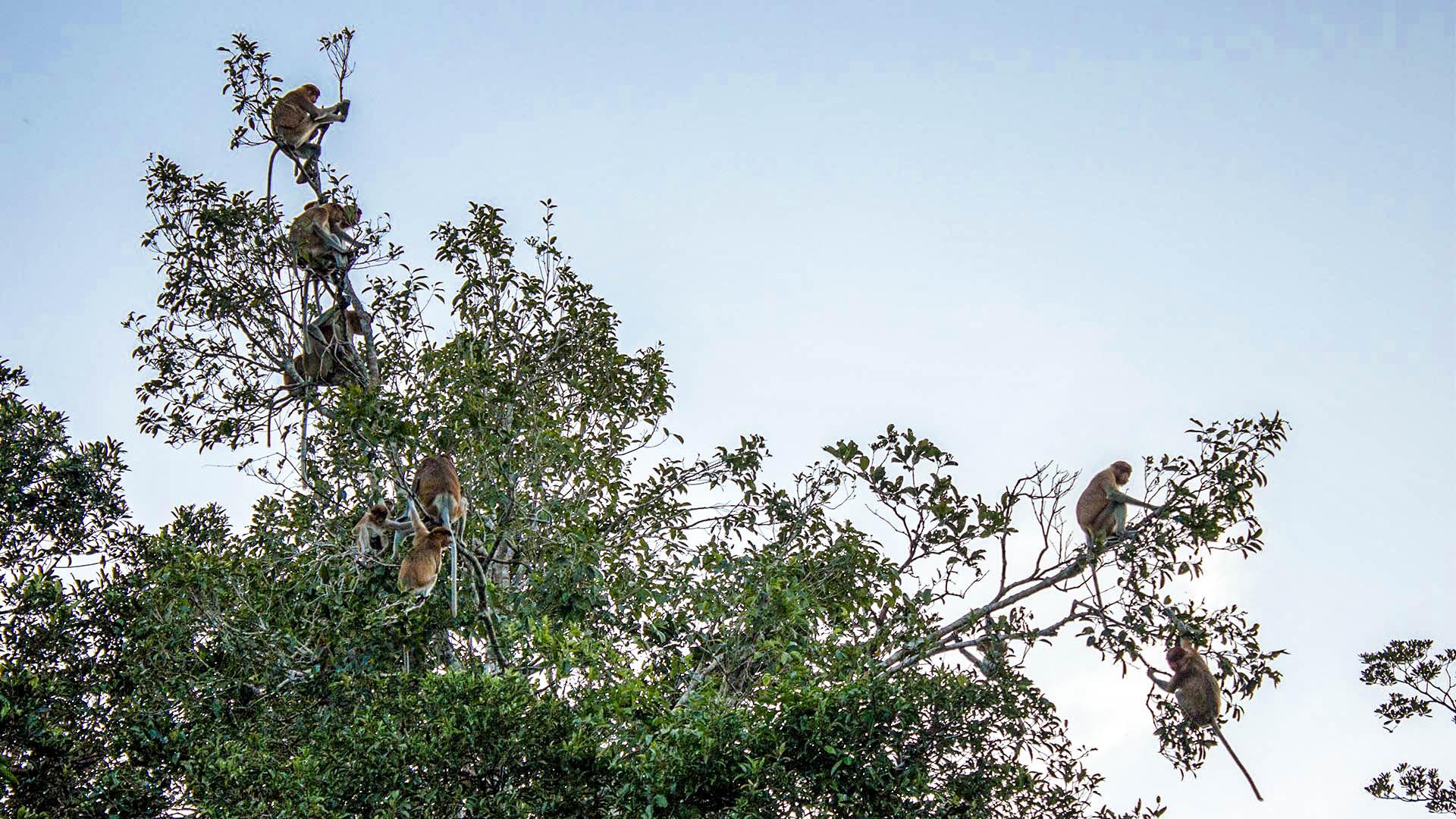 Más monos narigudos en la selva de Borneo