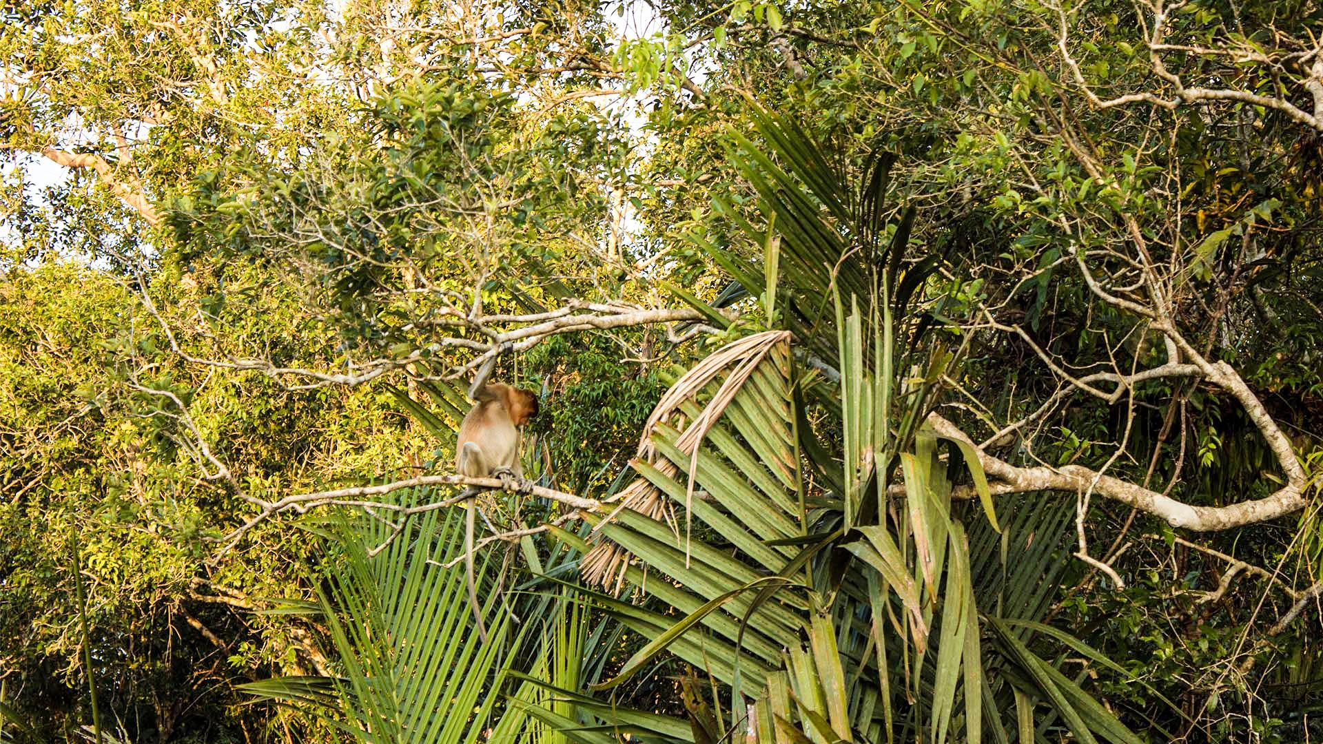 Monos narigudos en la selva de Borneo