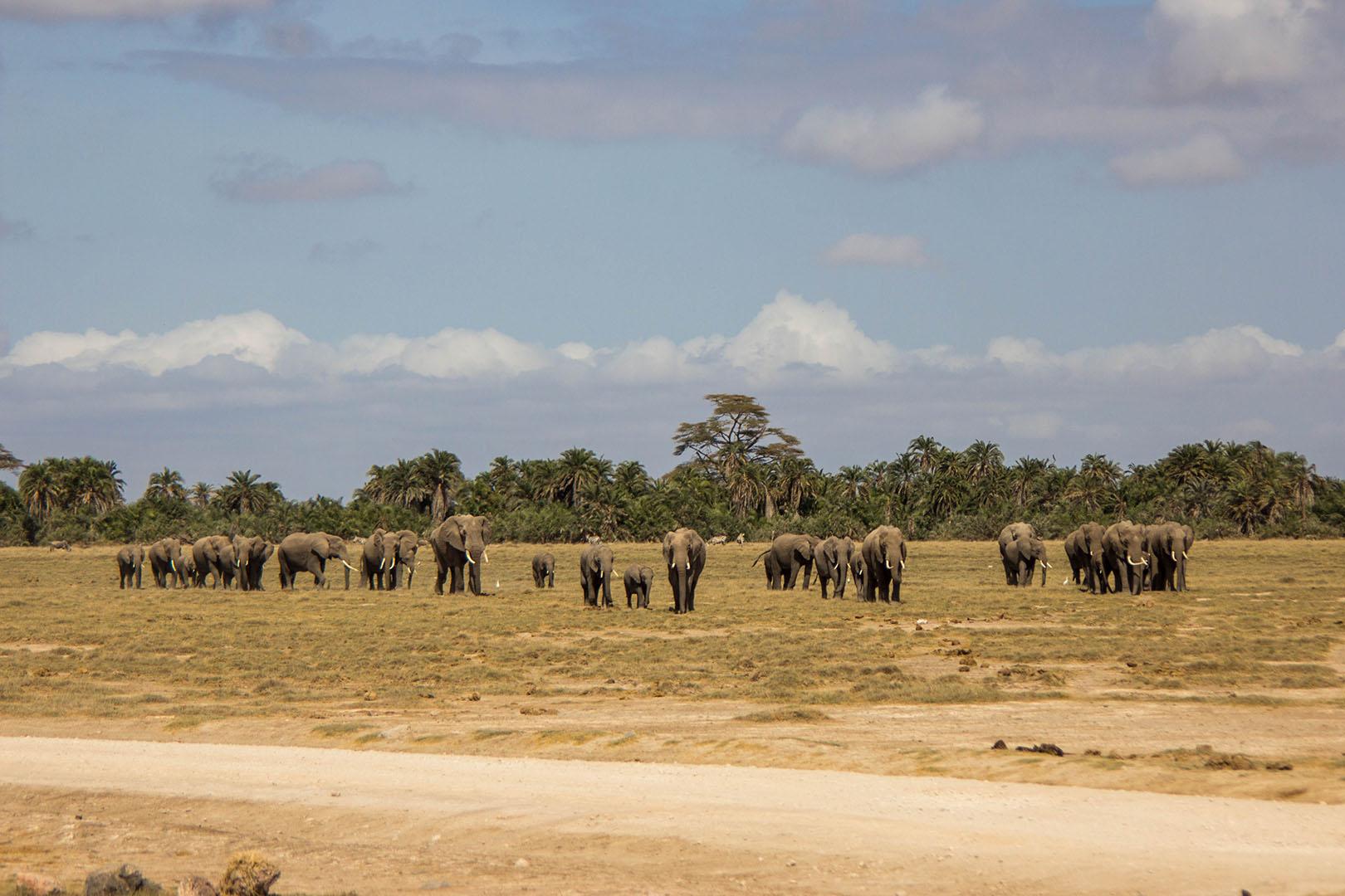 Manada de elefantes en Amboseli, Kenia
