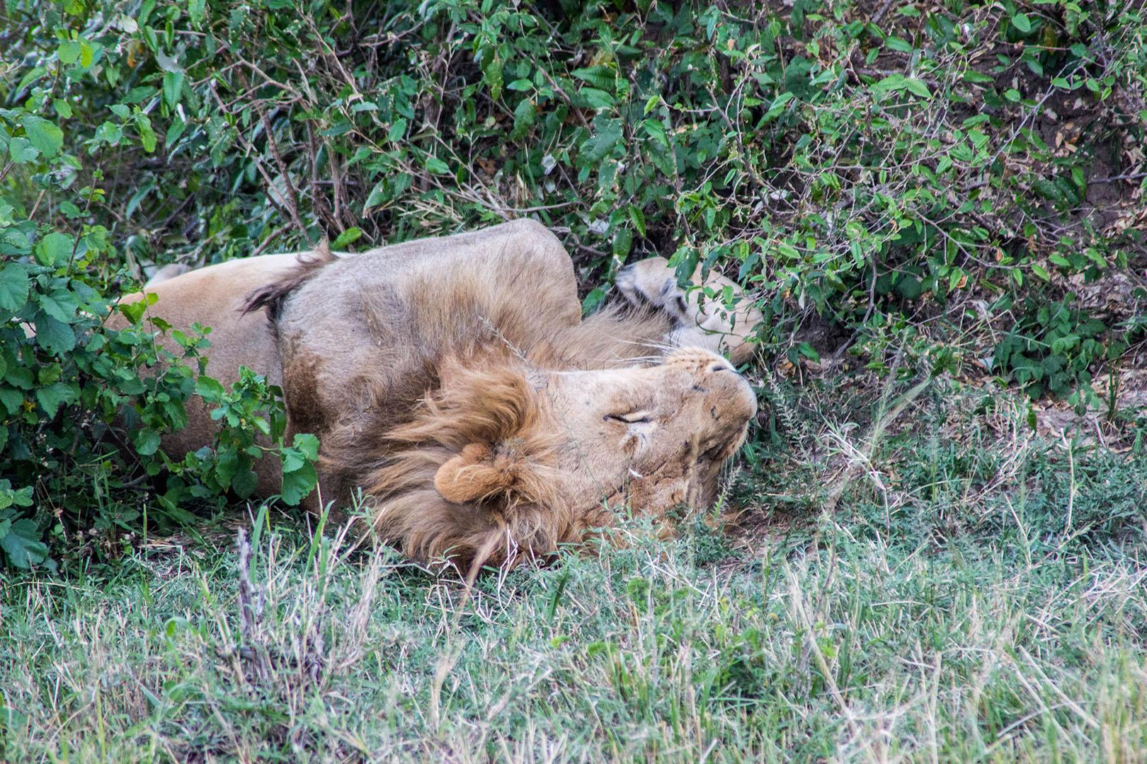 León durmiendo en Masai Mara