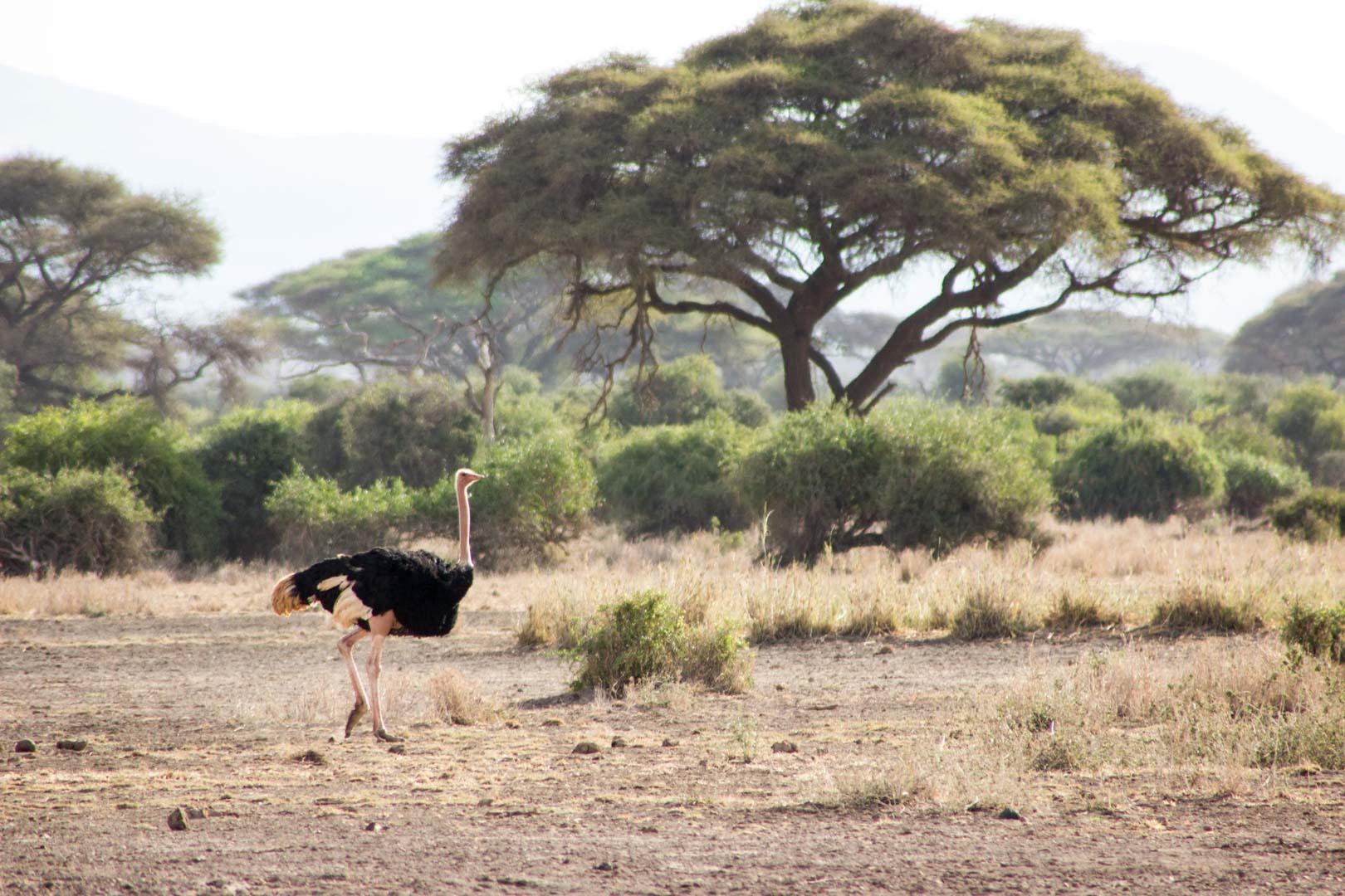 Avestruz, Parque Nacional de Amboseli, Kenia