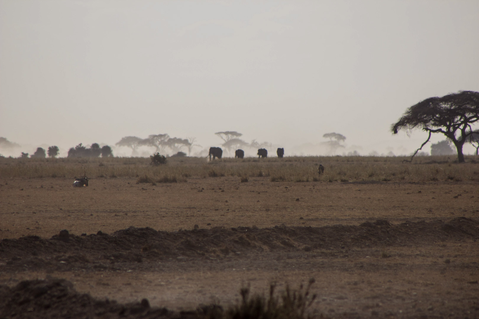 Primera manada de elefantes, Parque Nacional de Amboseli, Kenia