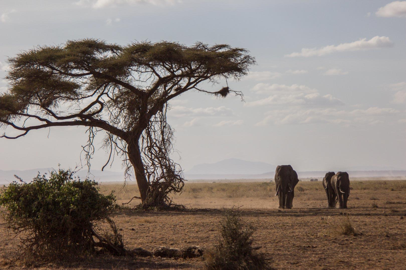 Manada de elefantes acercándose, Parque Nacional de Amboseli, Kenia