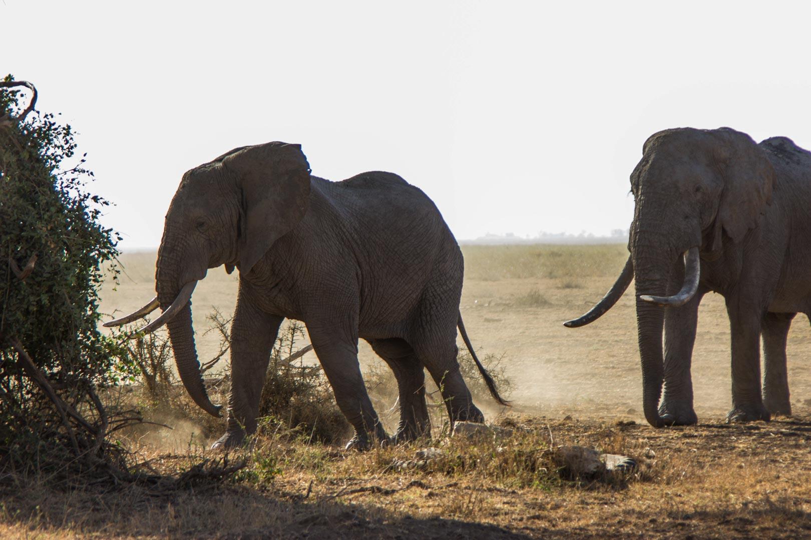 Elefantes, Parque Nacional de Amboseli, Kenia