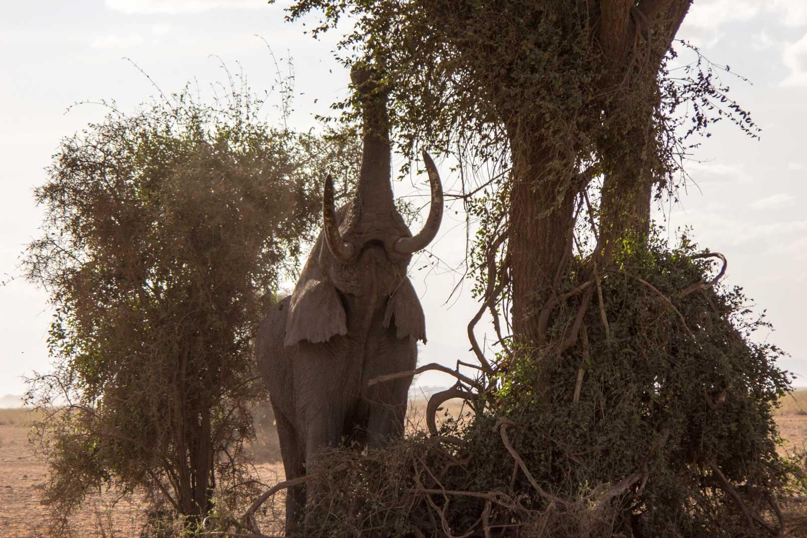 Elefante comiendo de un árbol, Parque Nacional de Amboseli, Kenia