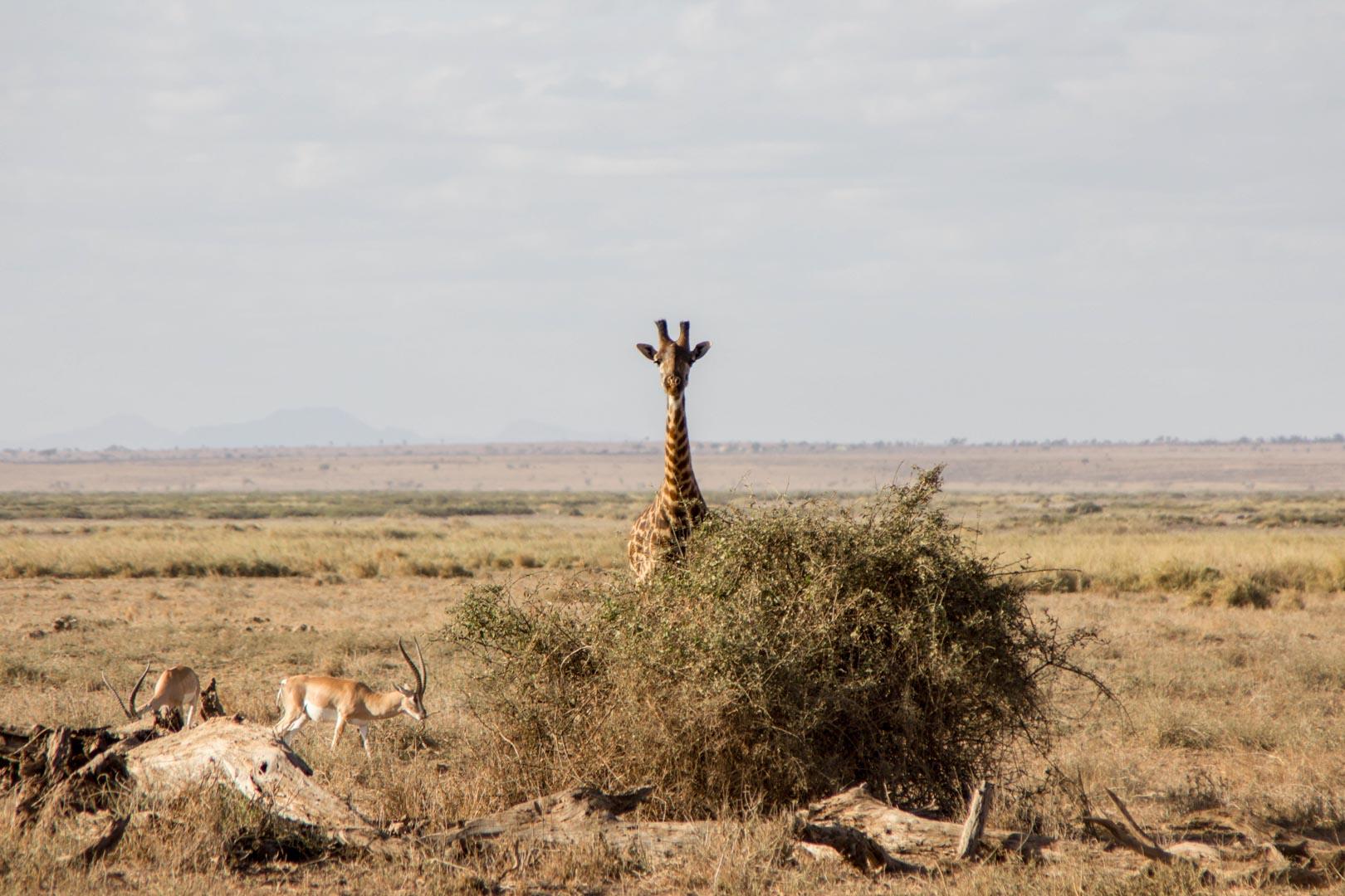 Jirafa, Parque Nacional de Amboseli, Kenia