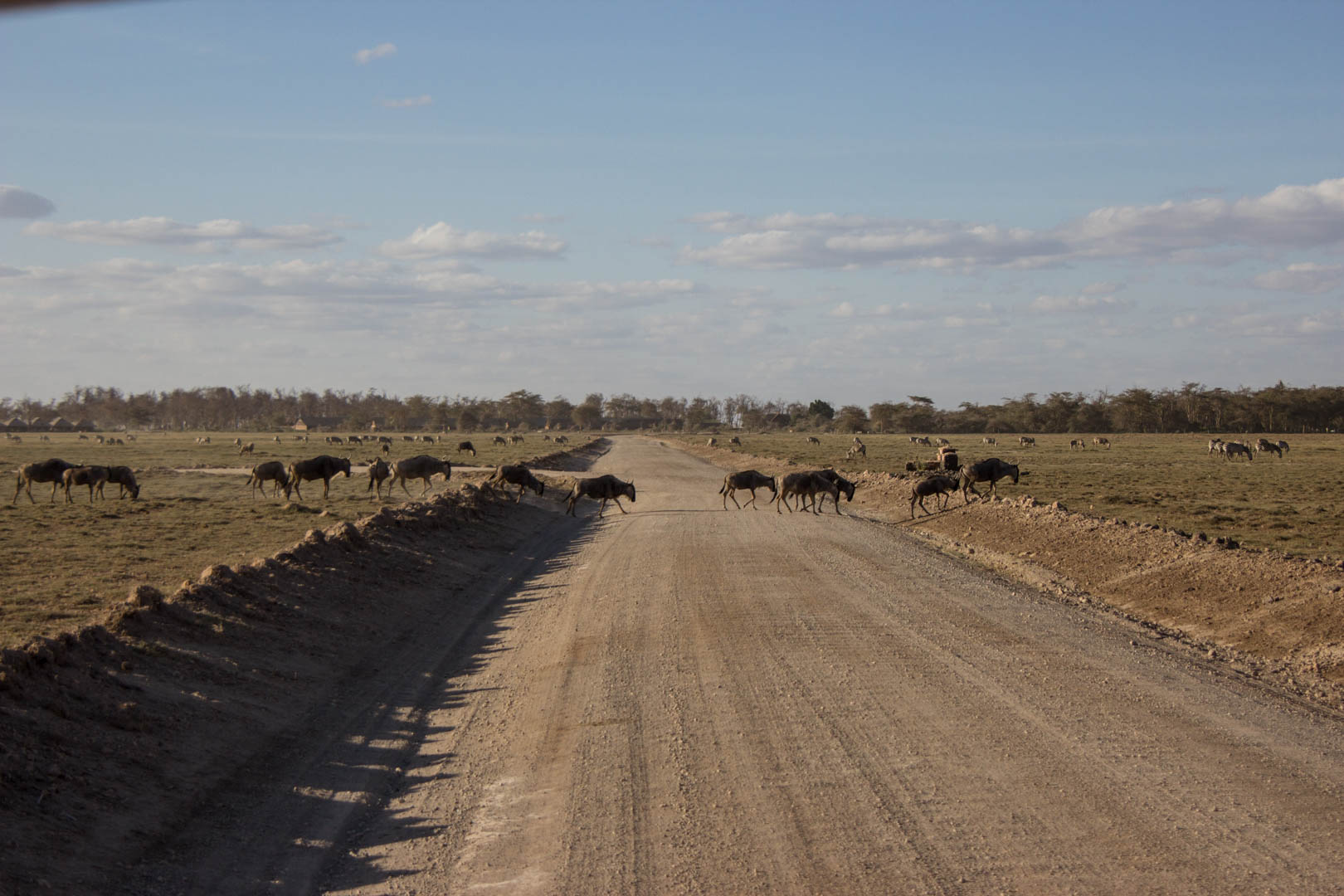 Ñus, Parque Nacional de Amboseli, Kenia
