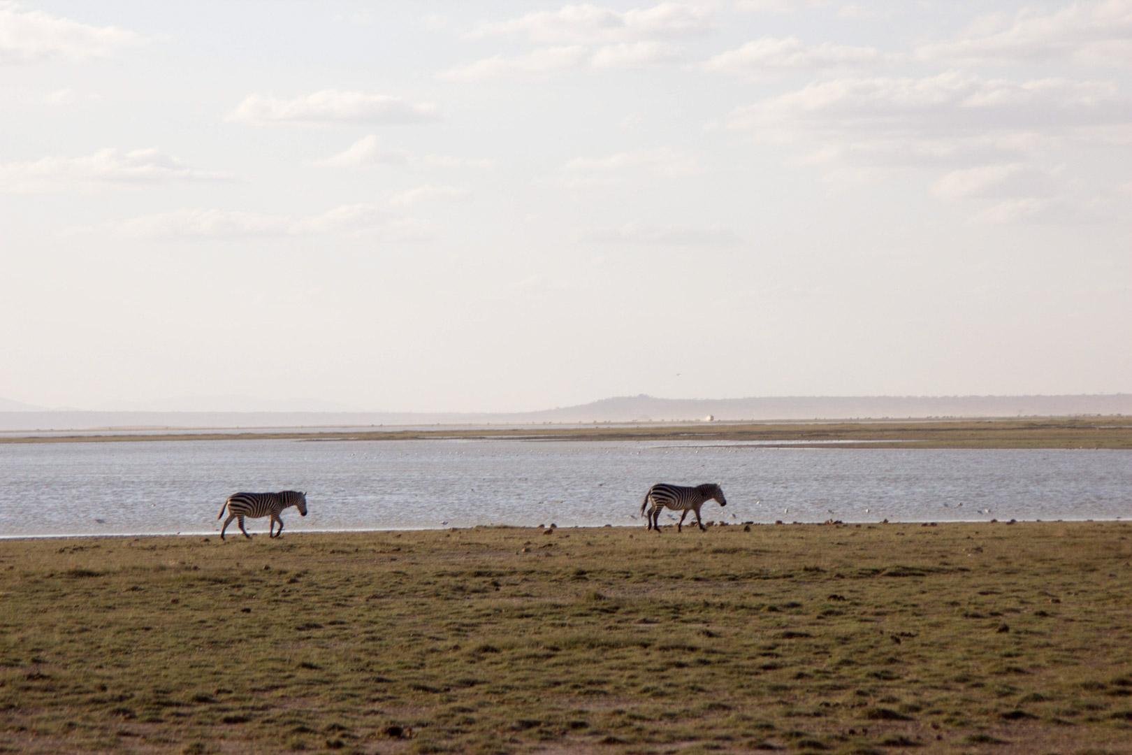 Cebras, Parque Nacional de Amboseli, Kenia