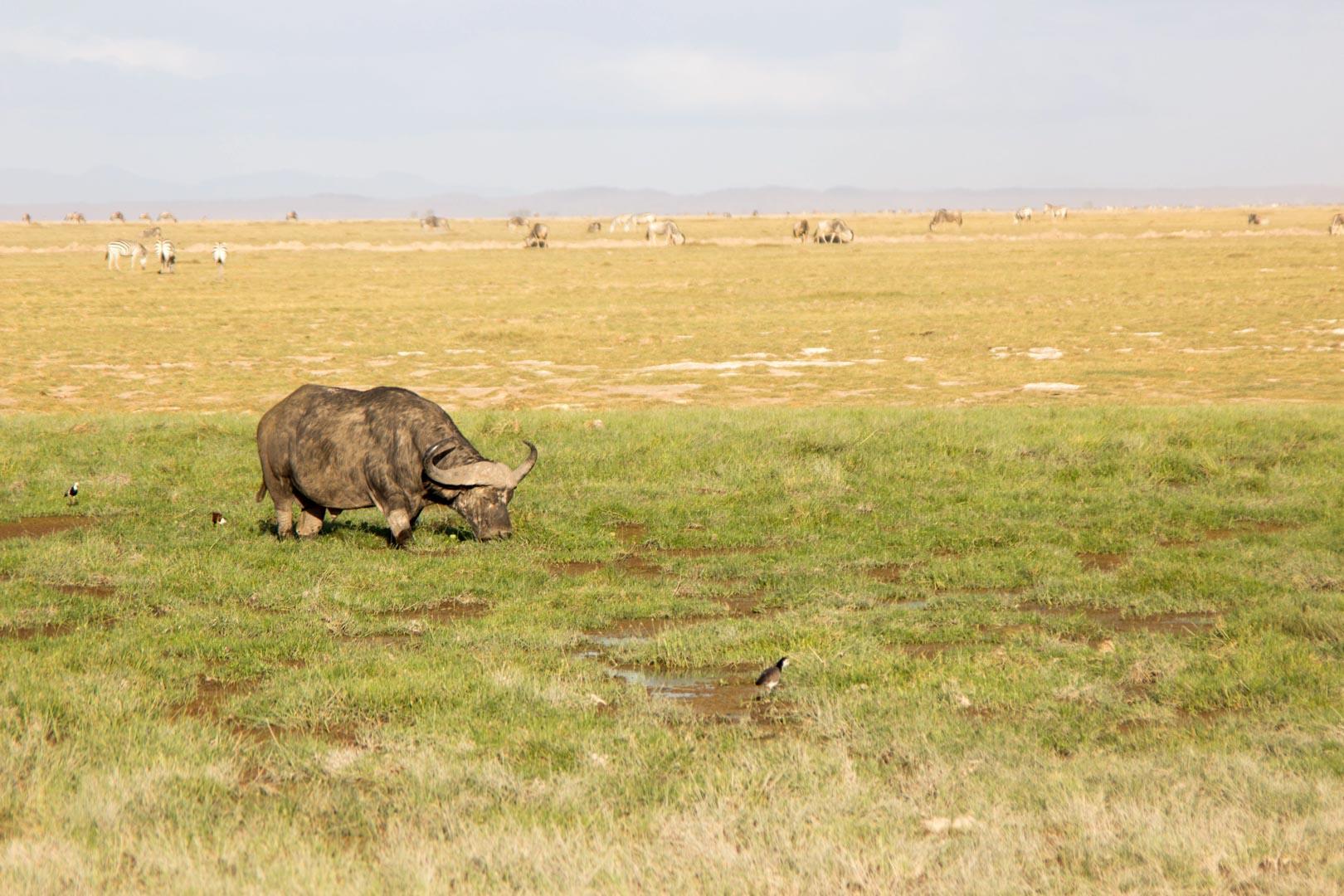Búfalo, Parque Nacional de Amboseli, Kenia