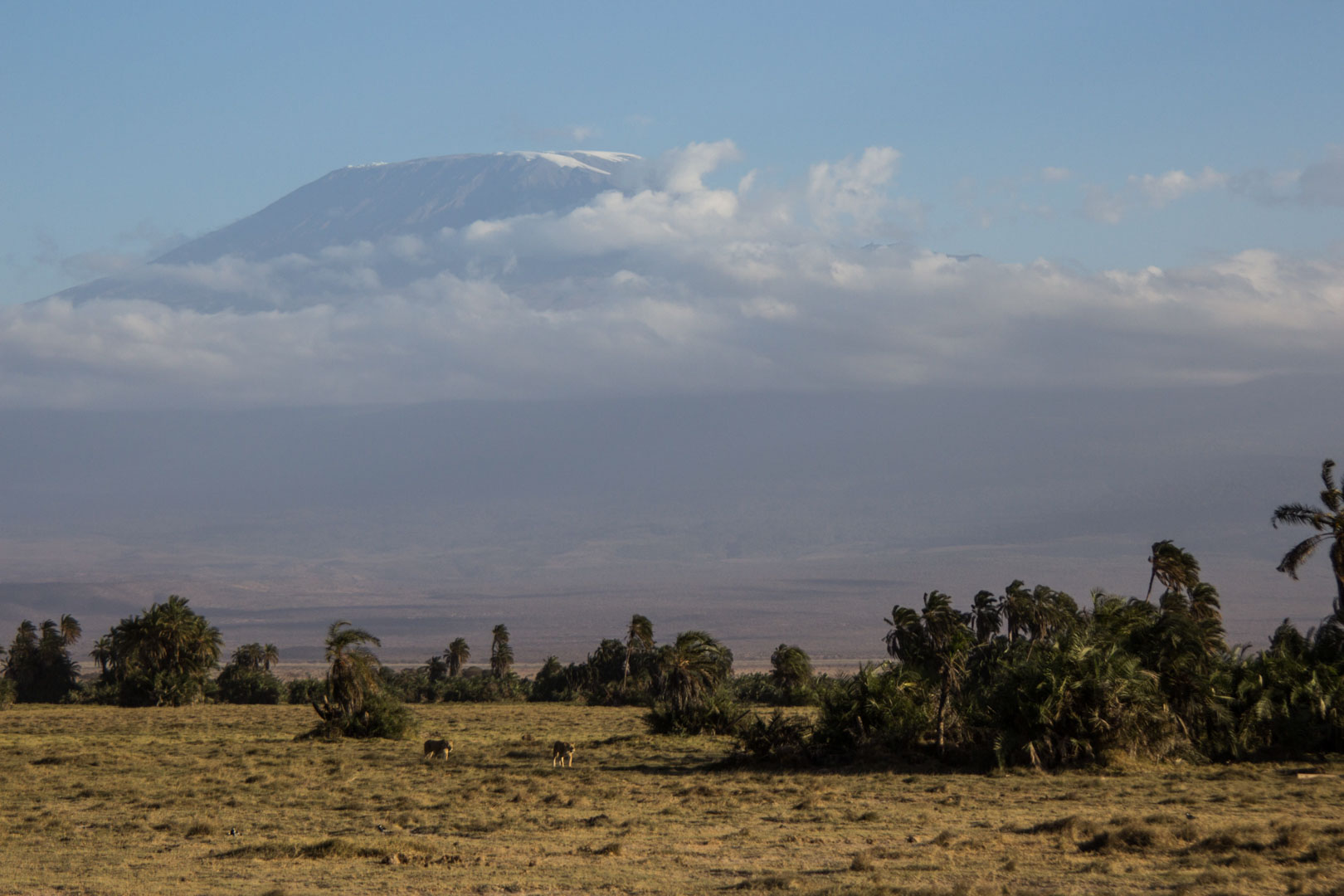Leonas acercándose, Parque Nacional de Amboseli, Kenia