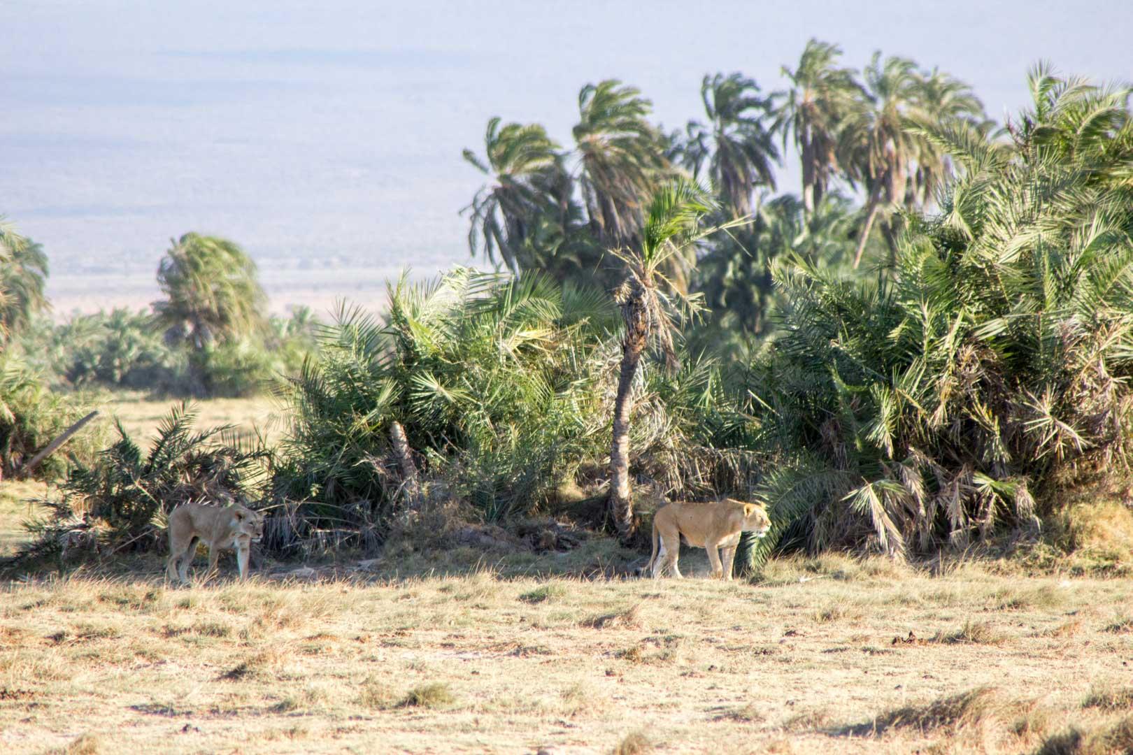 Dos leonas, Parque Nacional de Amboseli, Kenia