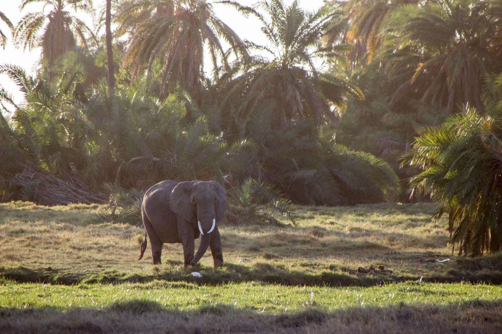 Elefante africano, Parque Nacional de Amboseli, Kenia