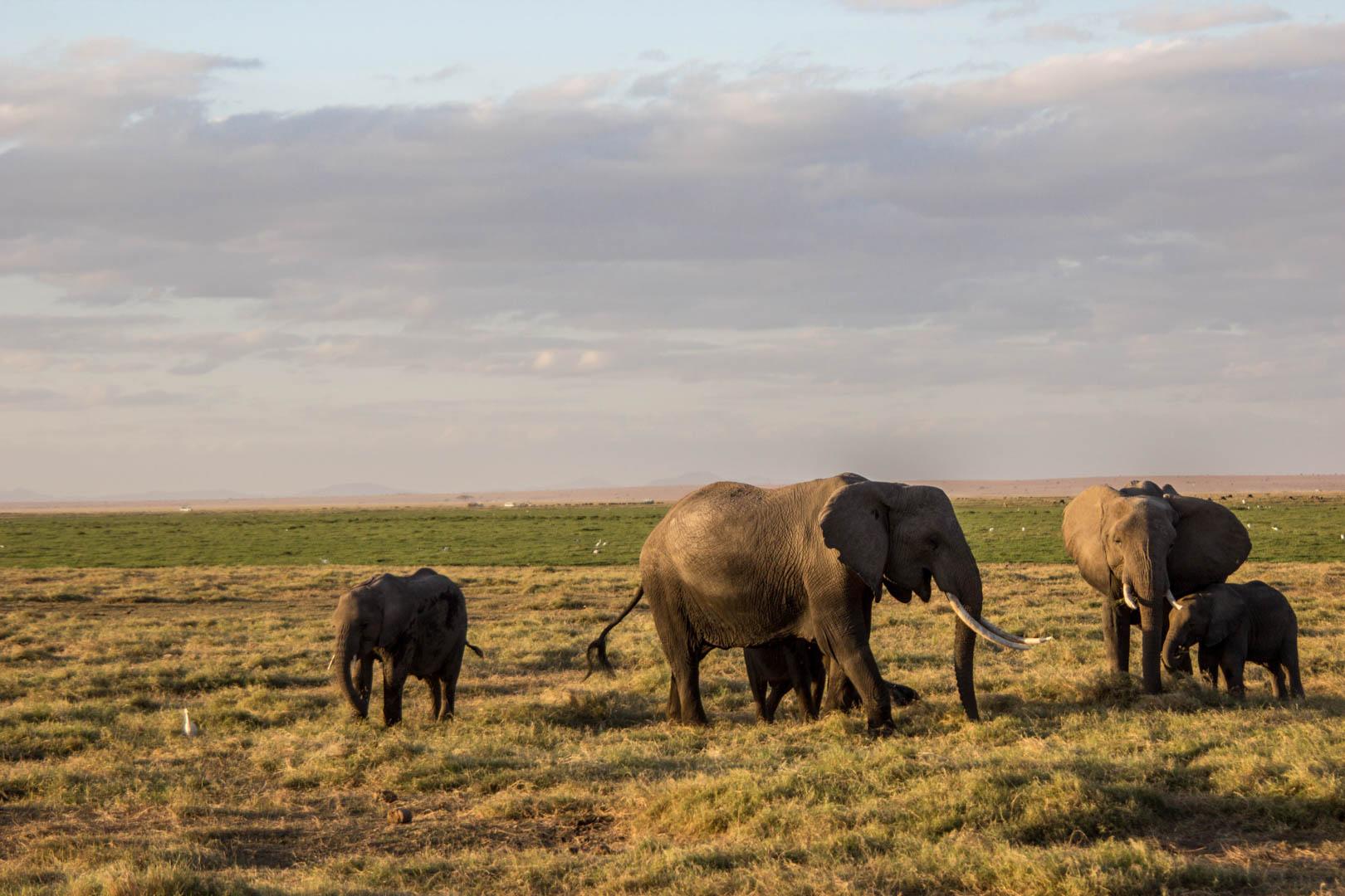 Bebés elefantes con sus mamás, Parque Nacional de Amboseli, Kenia
