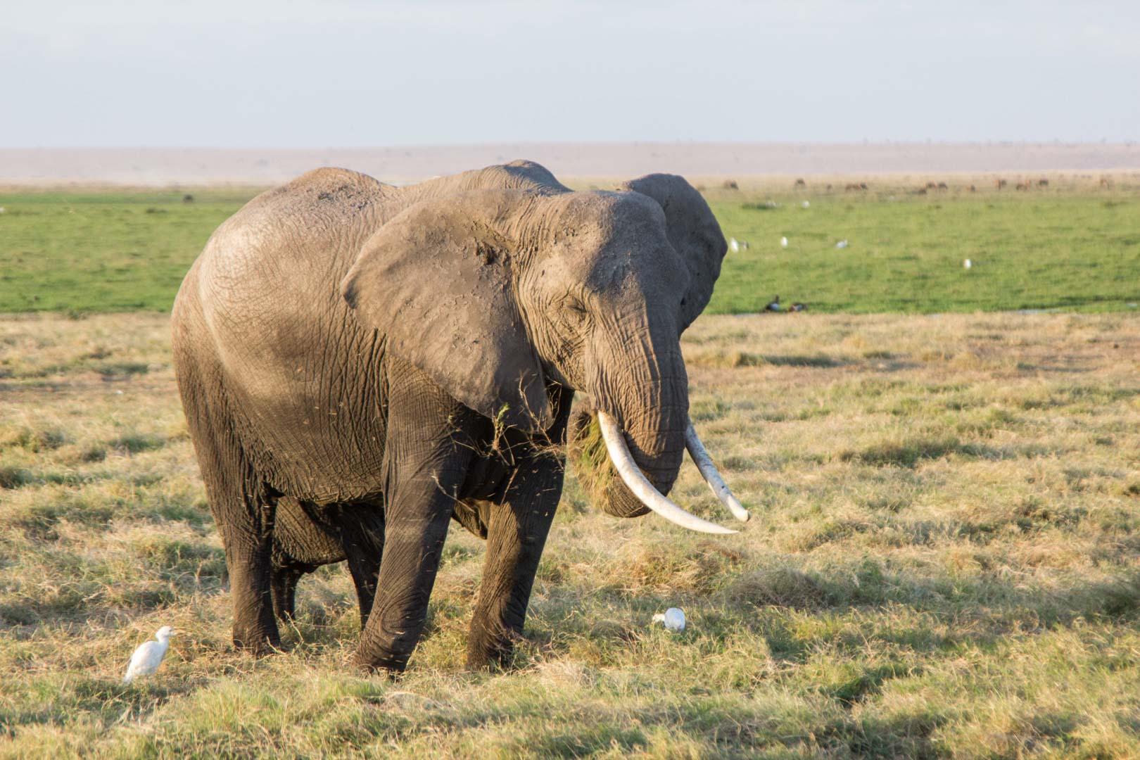 Elefante comiendo, Parque Nacional de Amboseli, Kenia