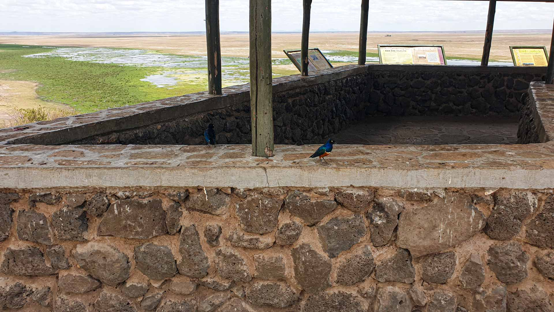 Starling magnífico, Amboseli, Kenia