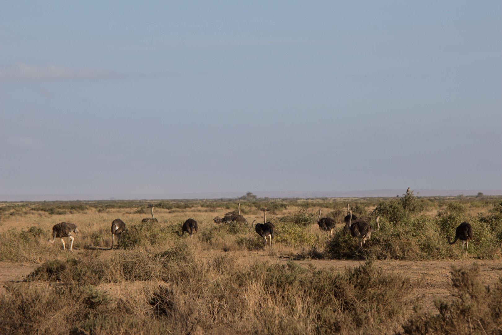 Avestruces en Amboseli, Kenia