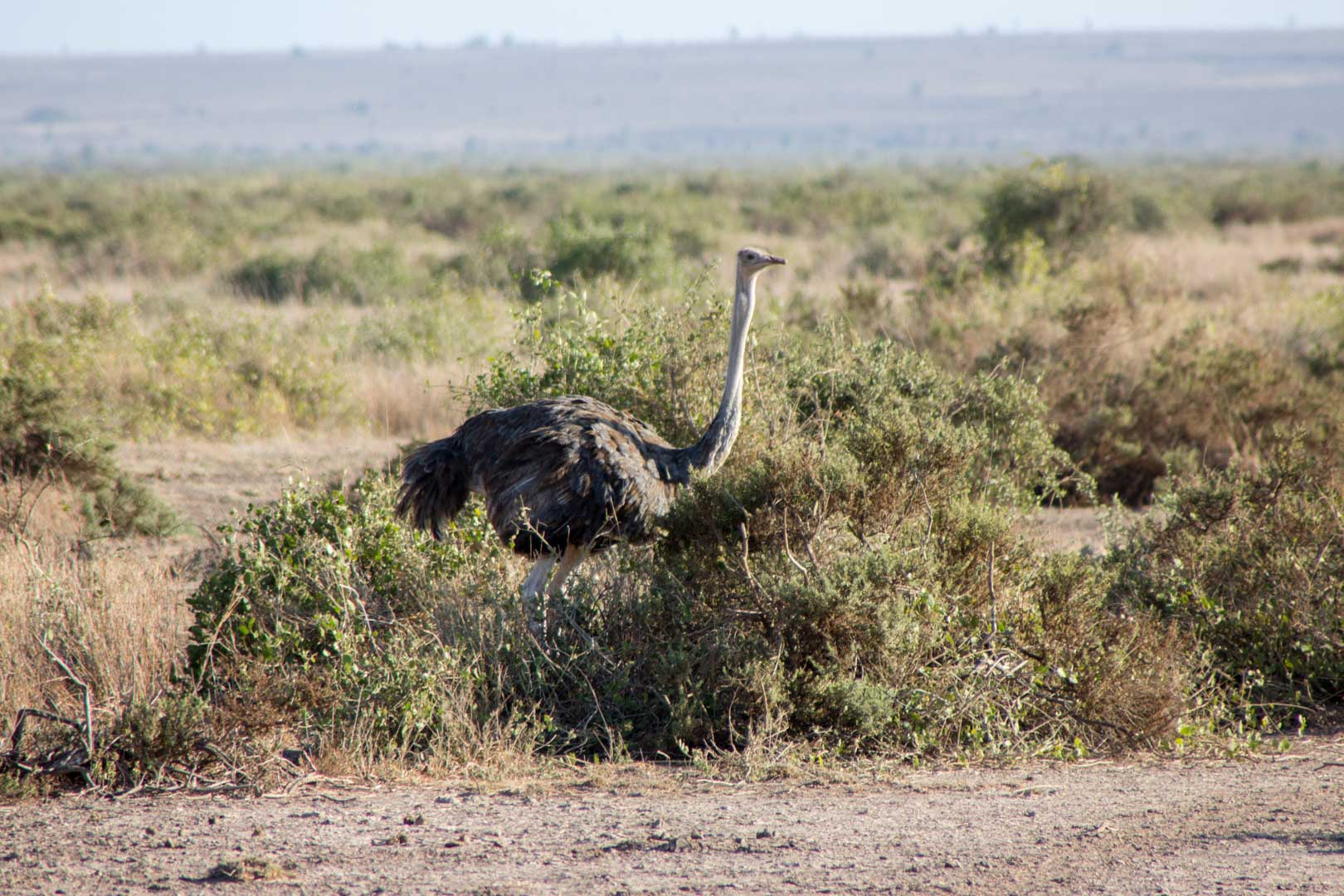 Avestruz en Amboseli, Kenia