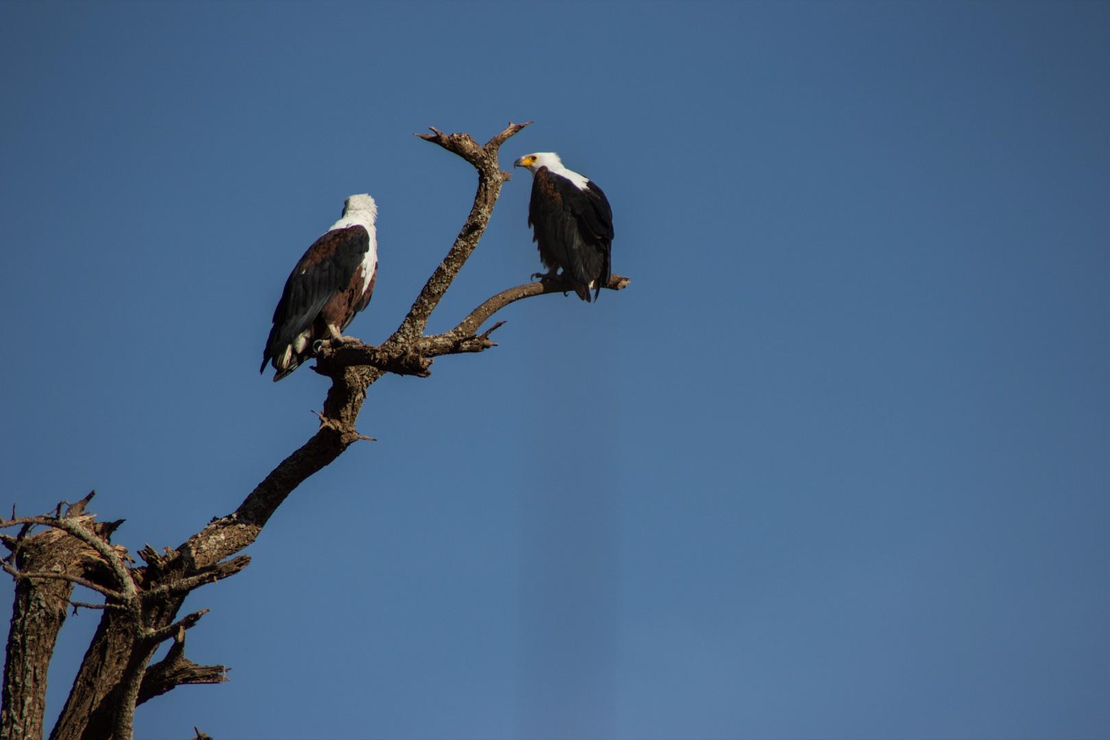 Águilas en Amboseli, Kenia