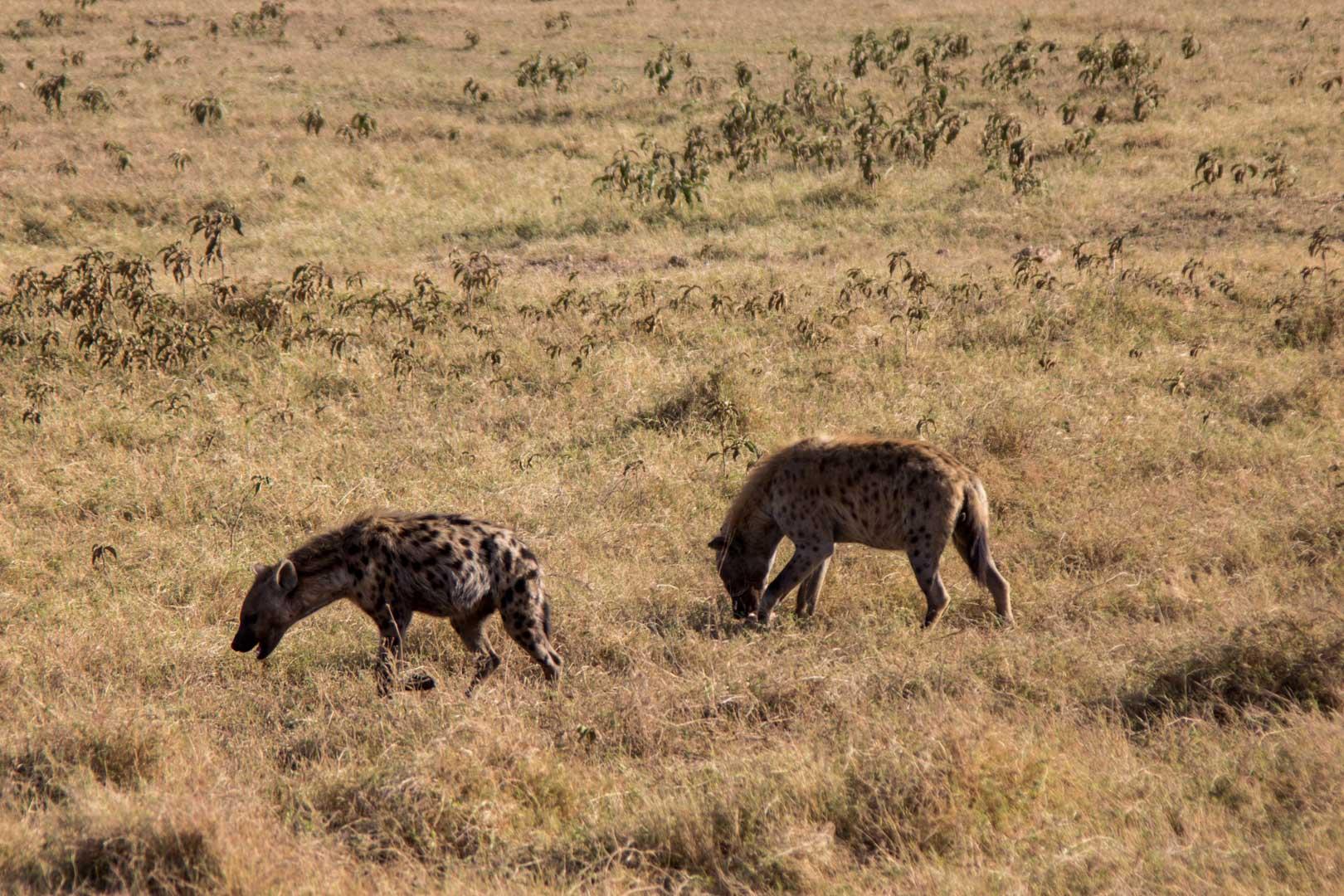 Dos hienas en Amboseli, Kenia
