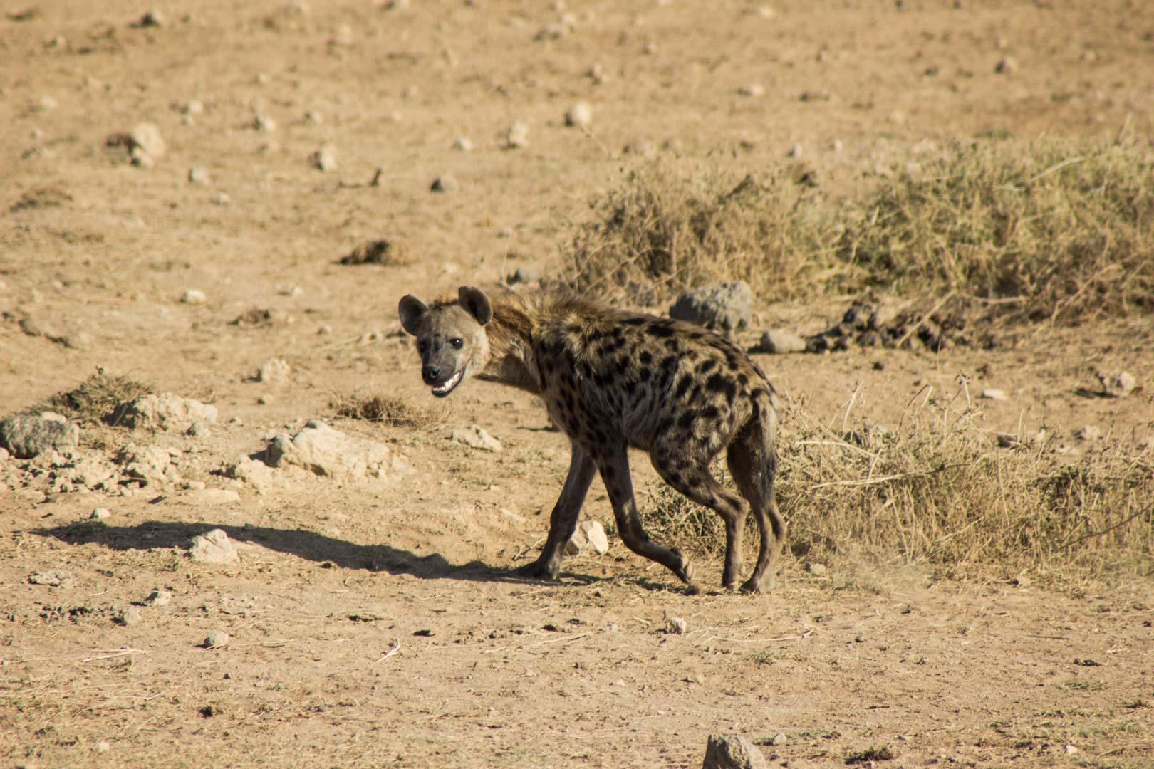 Hiena sonriente en Amboseli, Kenia
