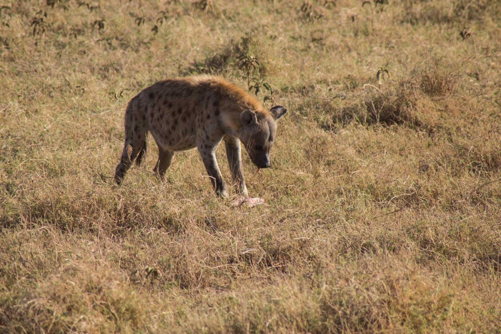 Hiena comiendo en Amboseli, Kenia