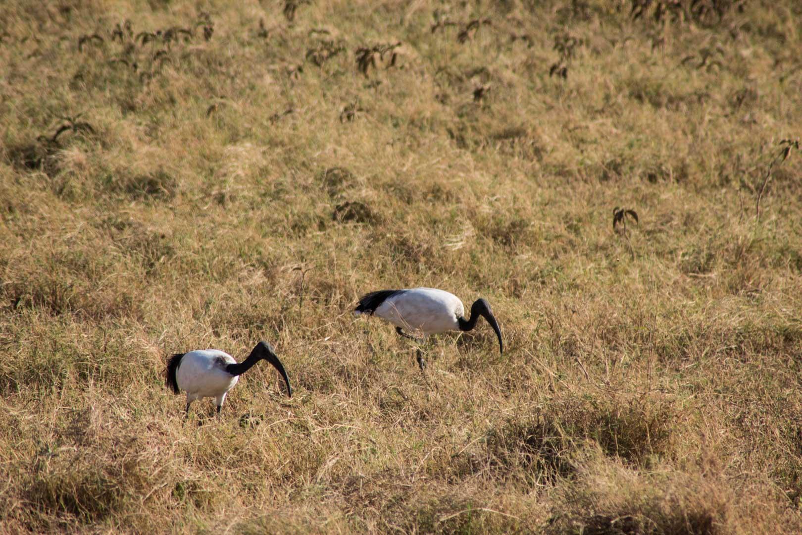 Aves en Amboseli, Kenia