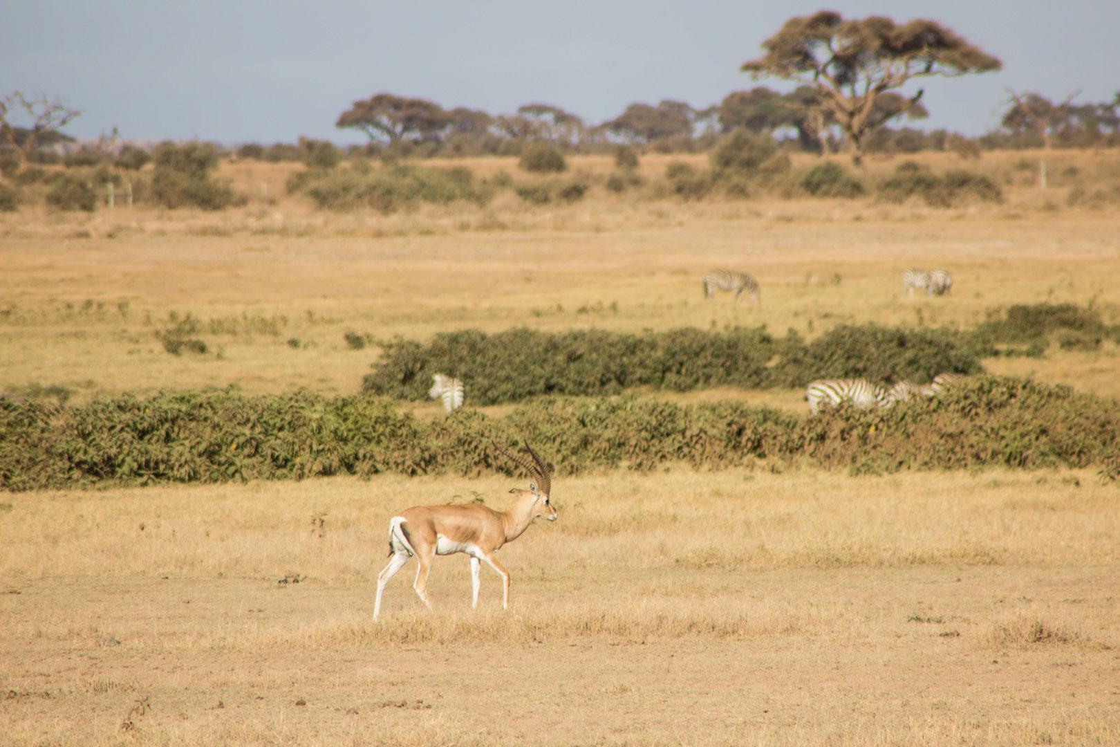 Gacela en Amboseli, Kenia