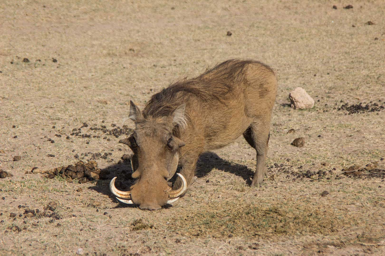 ¡Encontramos a Pumba! Amboseli, Kenia