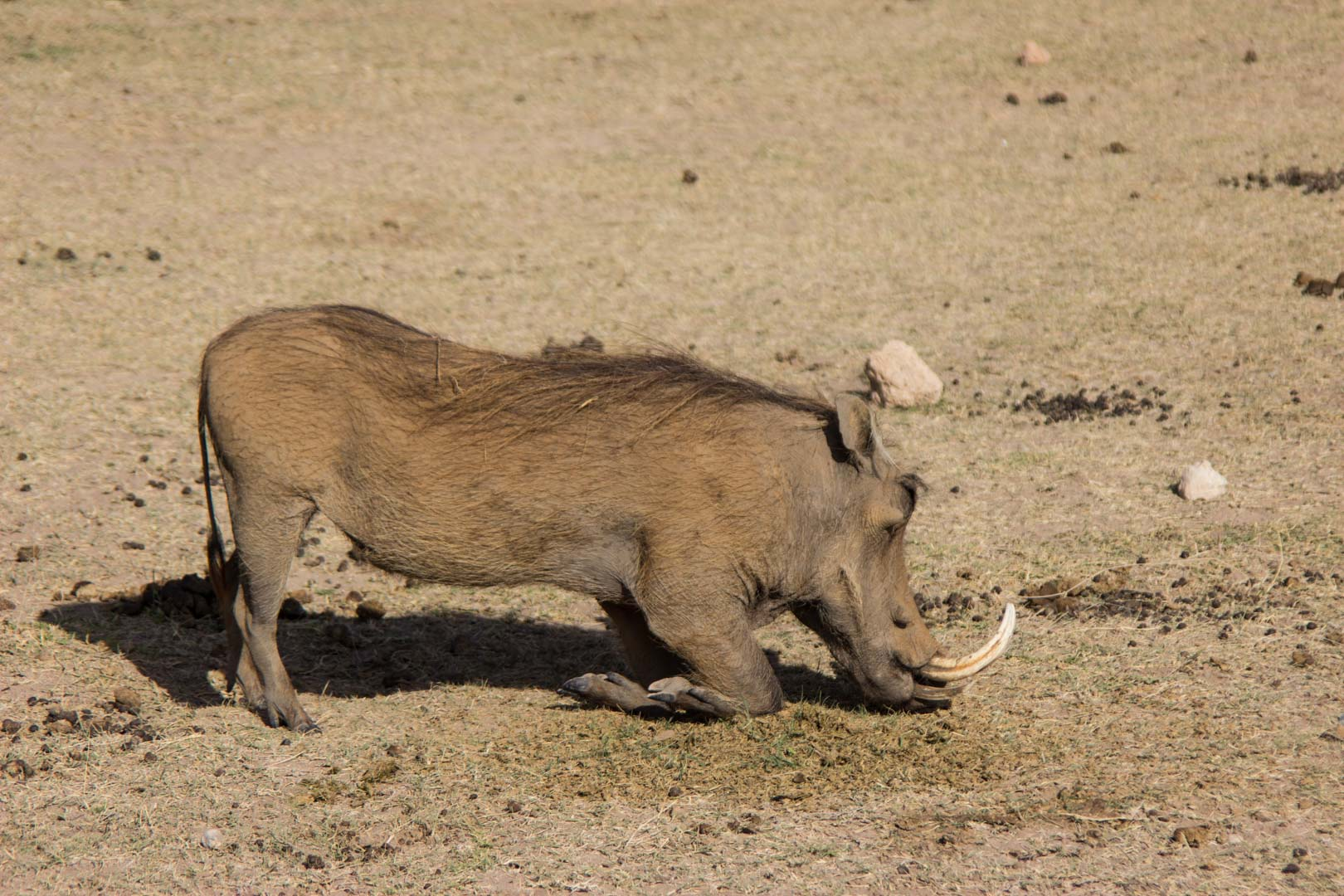 Jabalí comiendo en Amboseli, Kenia