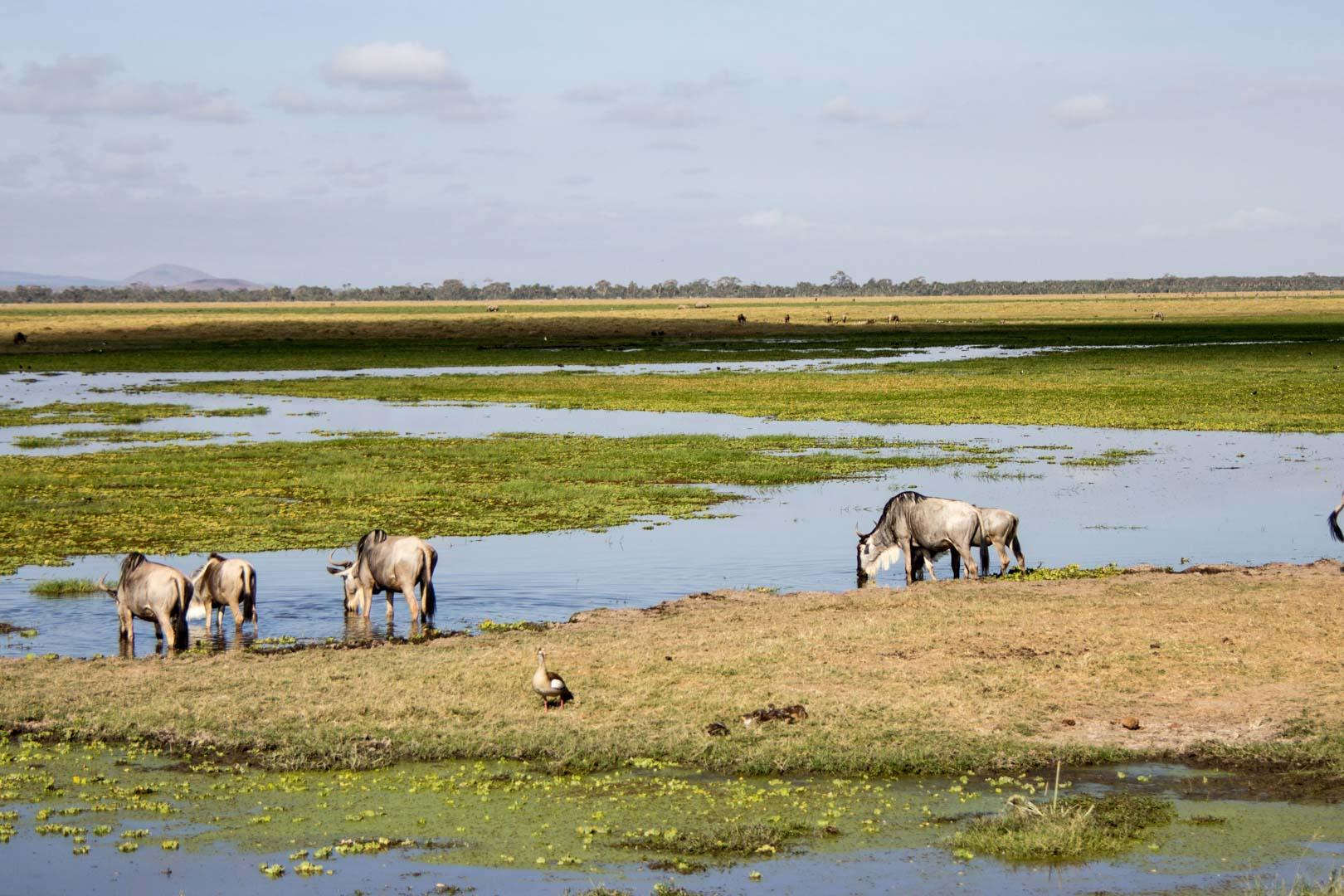 Ñus en Amboseli, Kenia