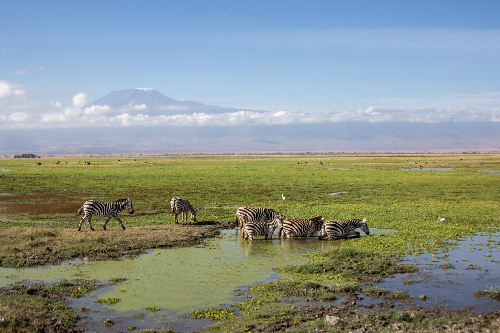Cebras en Amboseli, Kenia
