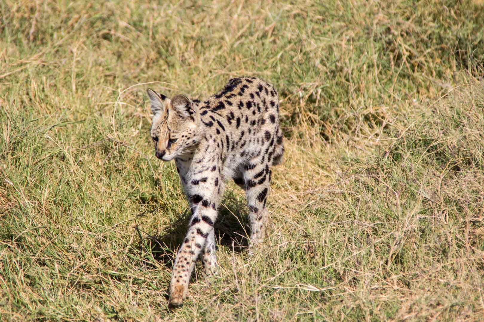 Serval, Amboseli, Kenia