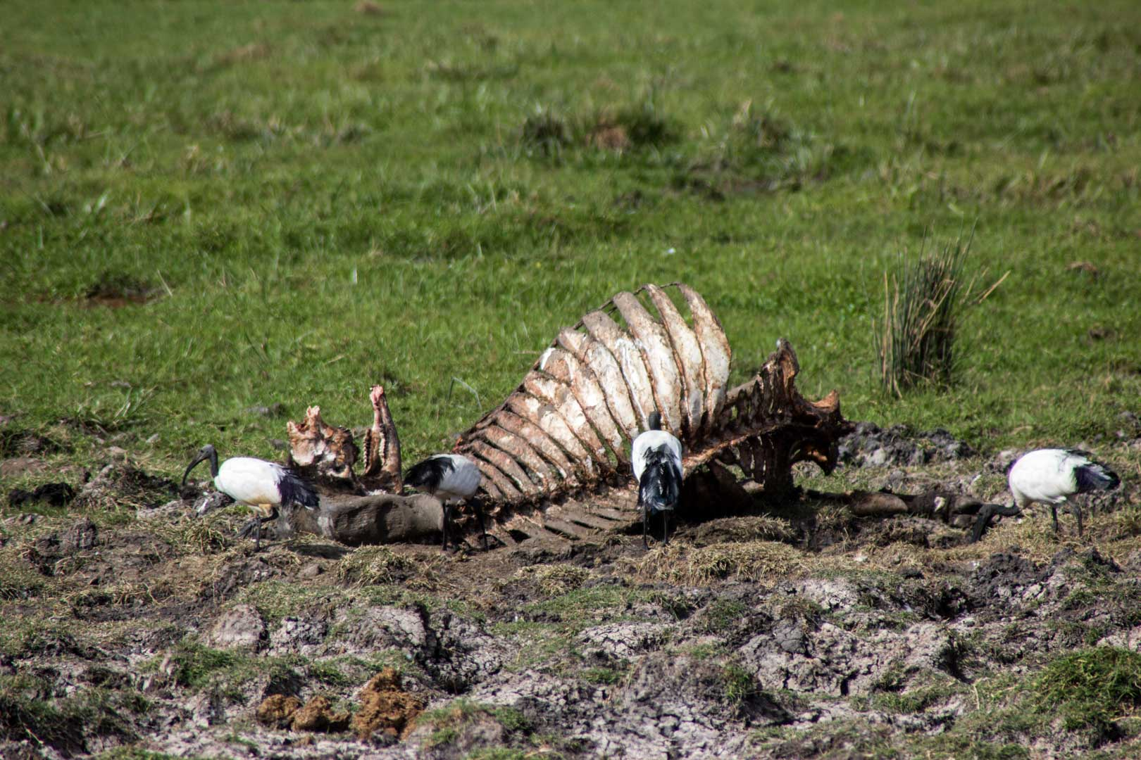 Aves alimentándose de restos de animales, Amboseli, Kenia