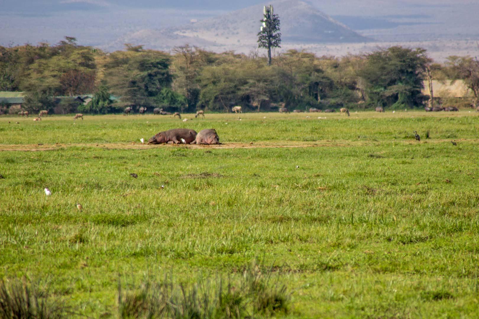 Hipopótamos a lo lejos, Amboseli, Kenia