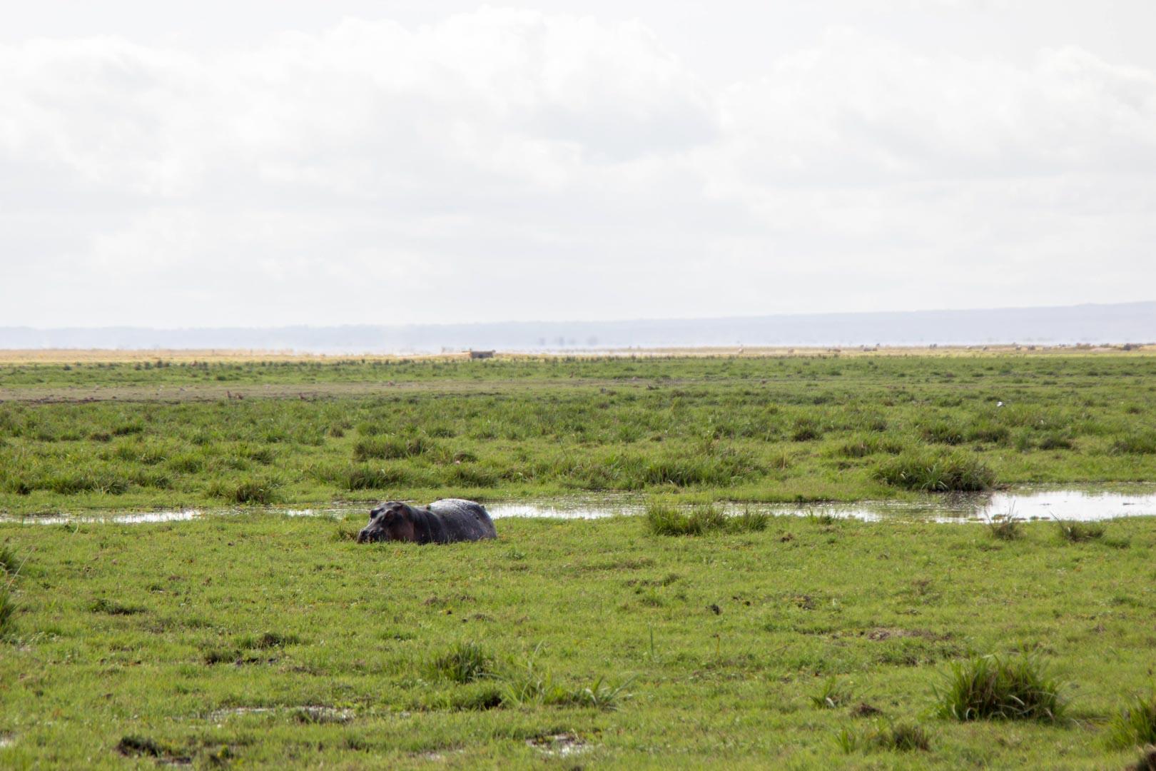 Hipopótamo en Amboseli, Kenia