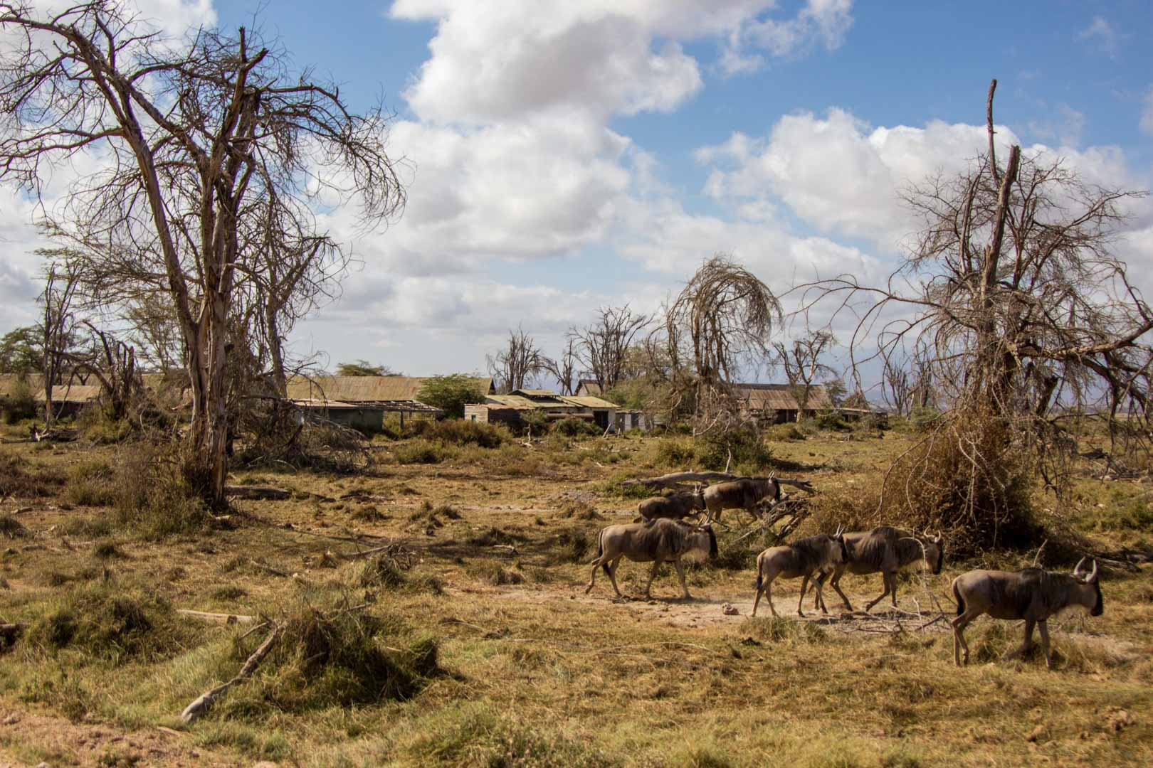 Ñus en un hotel abandonado, Amboseli, Kenia