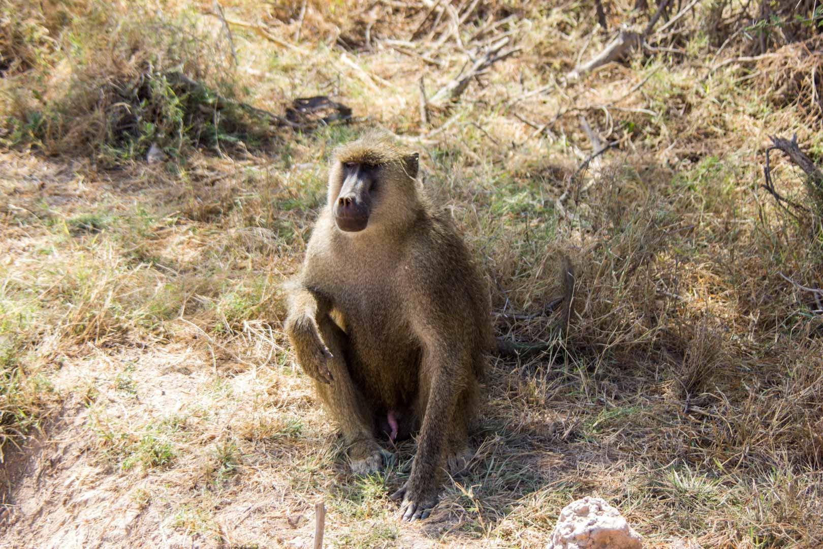 Mono en un hotel abandonado en Amboseli, Kenia