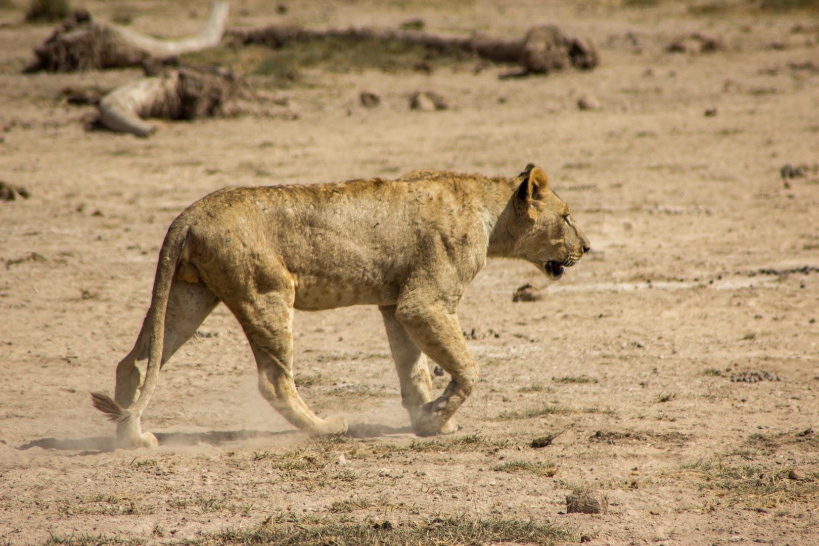 León joven en Amboseli, Kenia