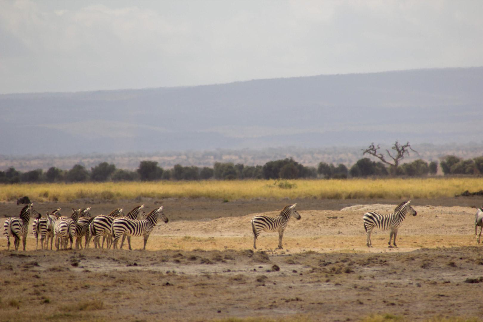 Cebras inmóviles observando al león, Amboseli, Kenia
