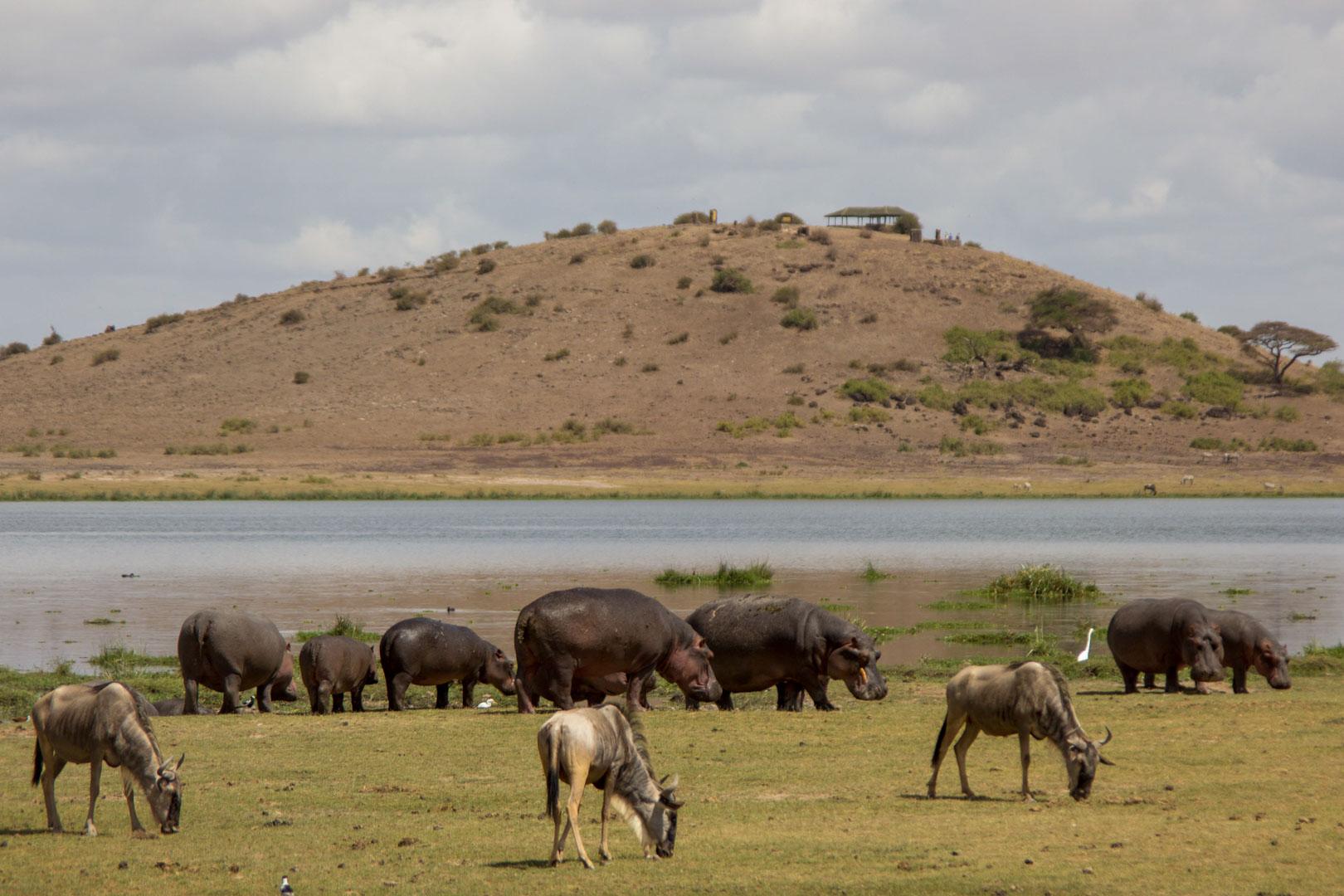 Manada de hipopótamos, Amboseli, Kenia