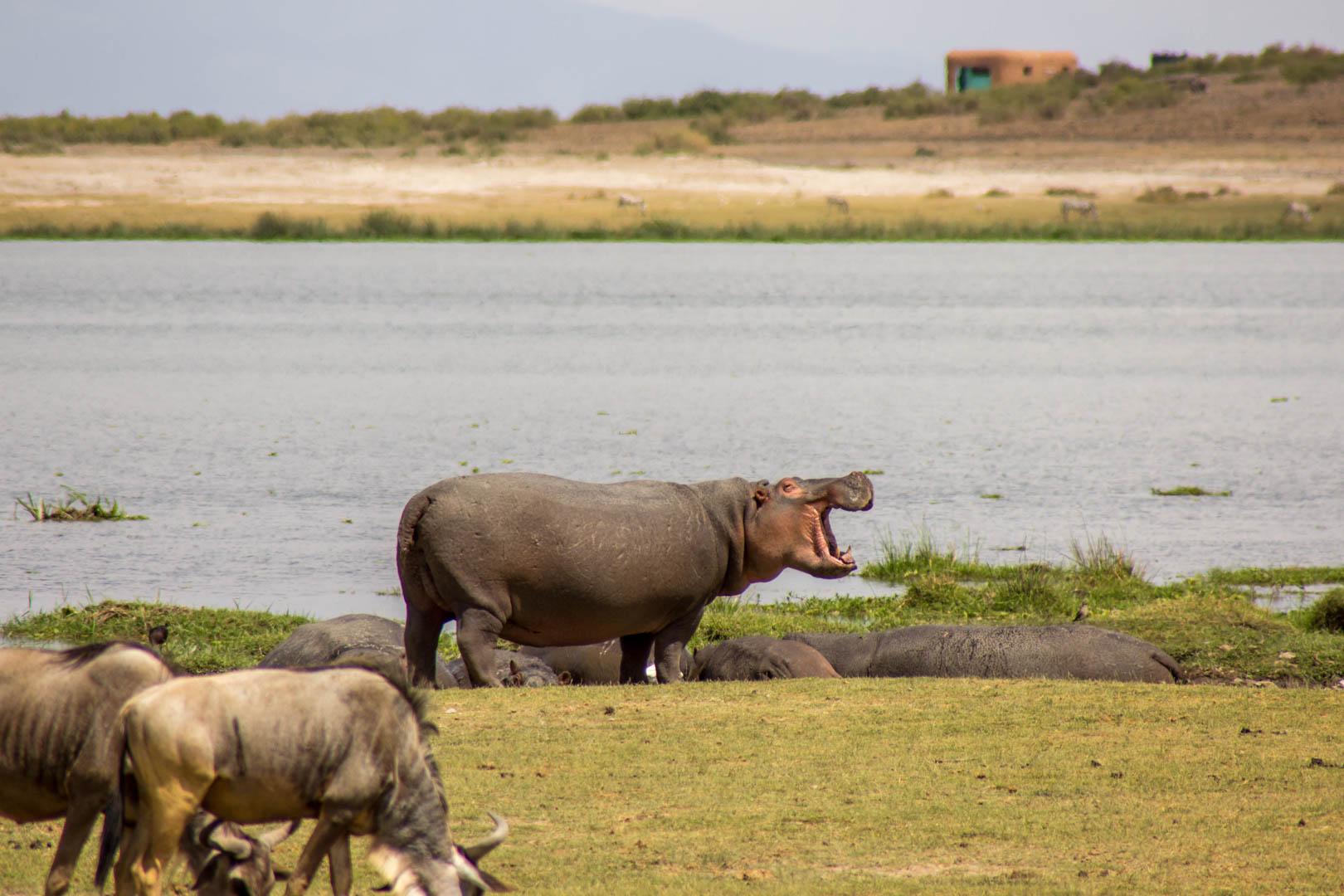 Hipopótamo, Amboseli, Kenia