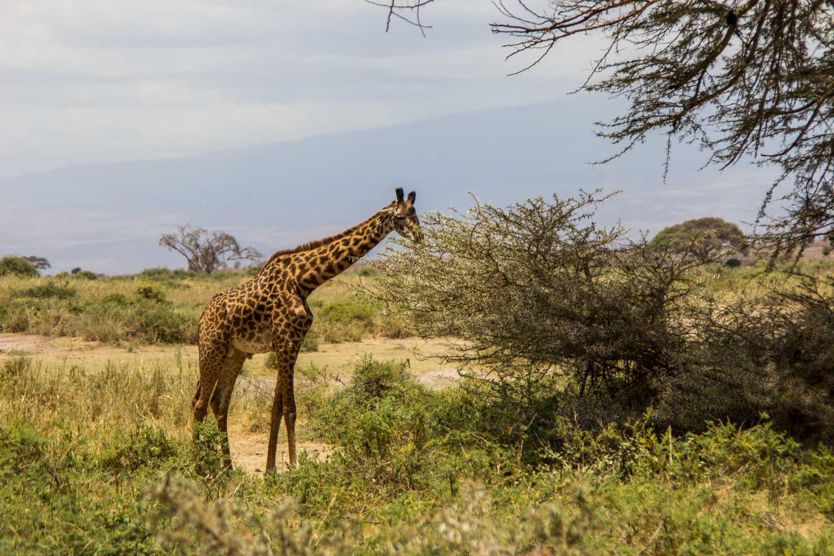 Jirafa en Amboseli, Kenia