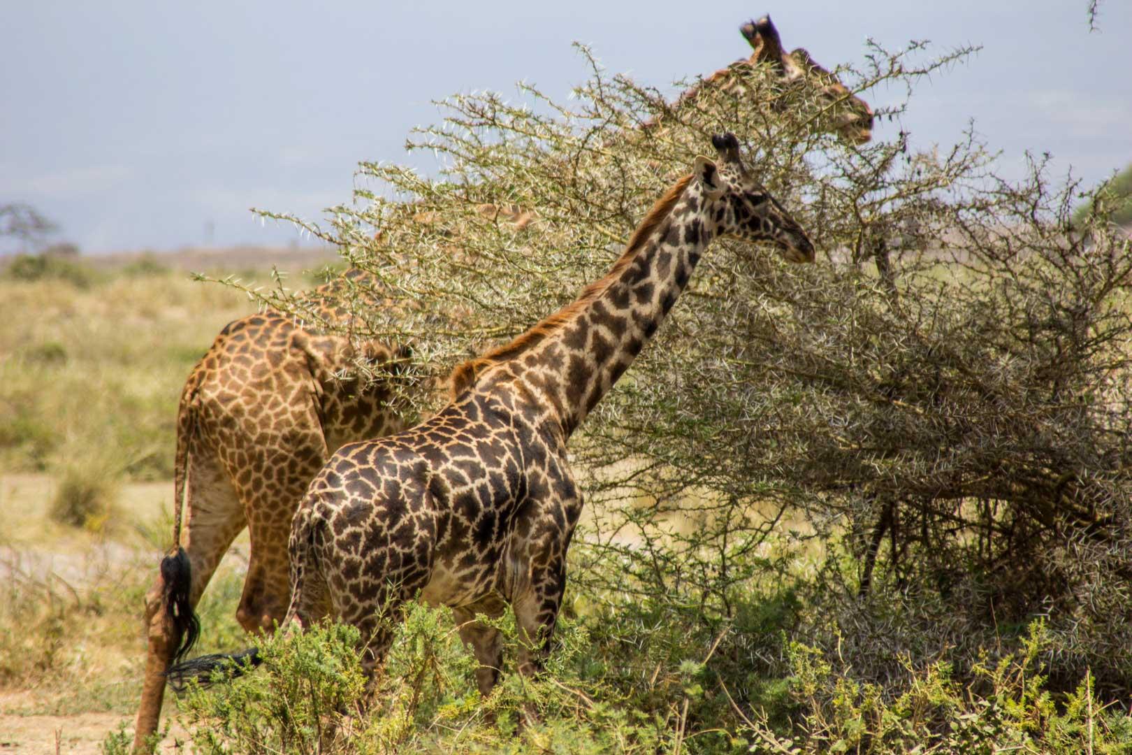 Vemos las primeras jirafas de cerca, Amboseli, Kenia