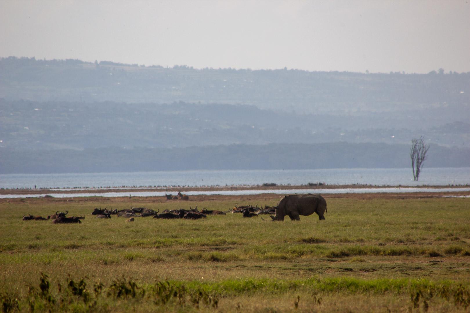 Rinoceronte blanco en Lago Nakuru, Kenia