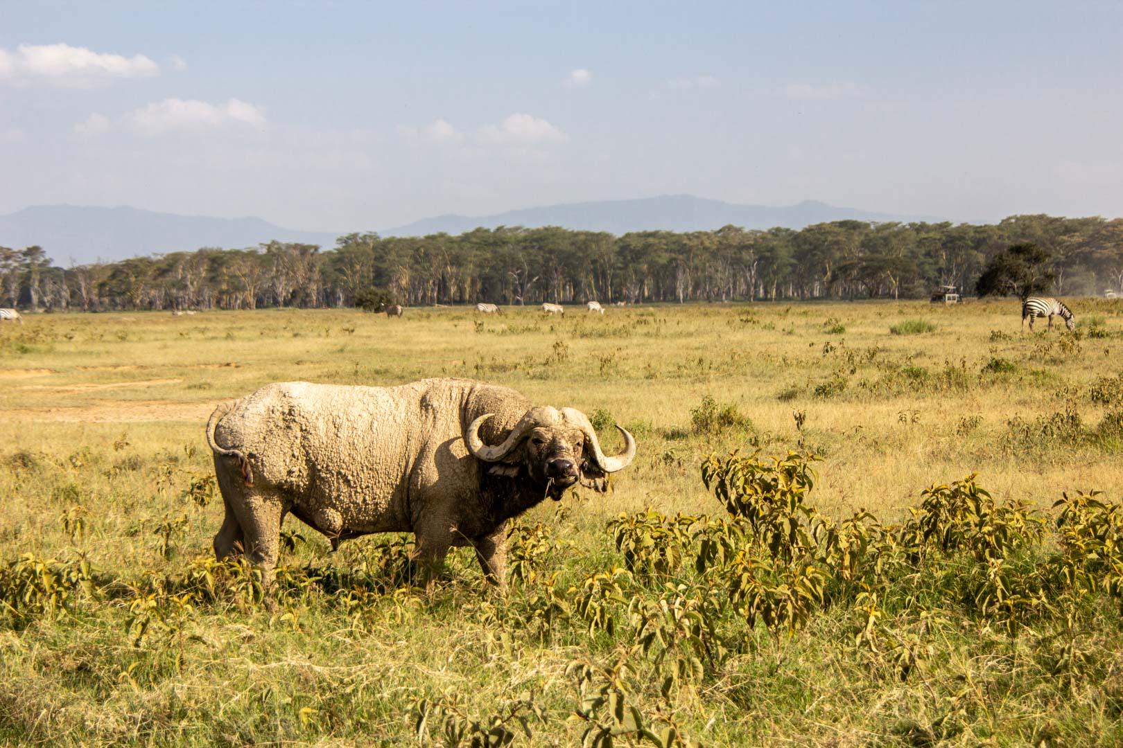 Búfalo en Lago Nakuru, Kenia