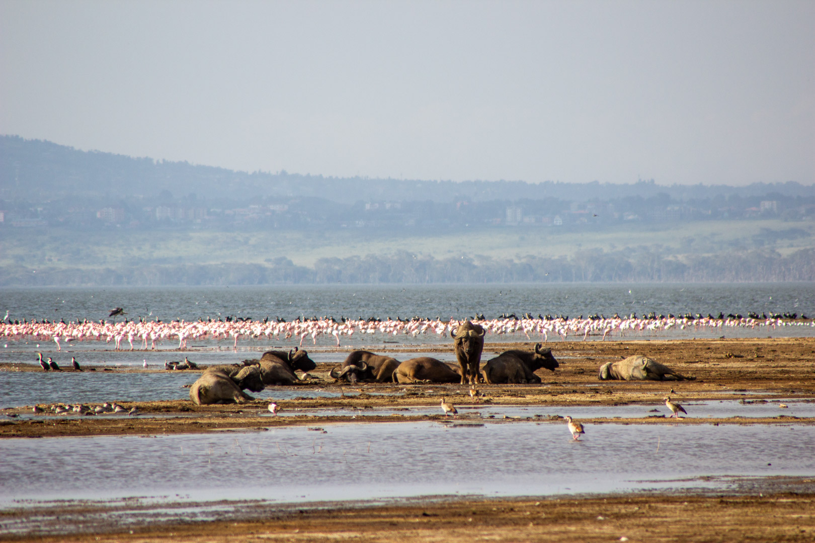 Flamencos y búfalos en Lago Nakuru, Kenia
