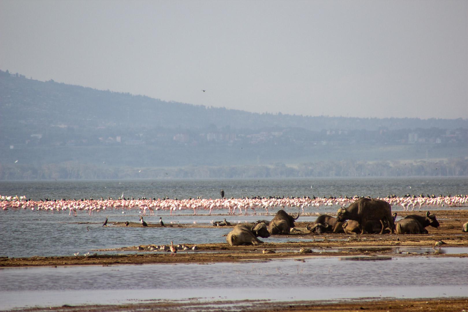 Muy a lo lejos, flamencos y búfalos en Lago Nakuru, Kenia