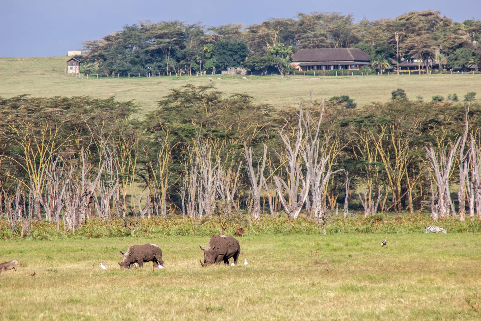 Rinocerontes blancos en Lago Nakuru, Kenia